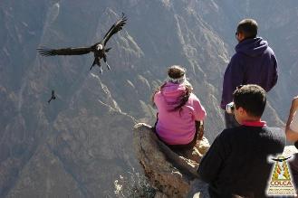 Arequipa: Presentan iniciativa para evitar extinción del cóndor