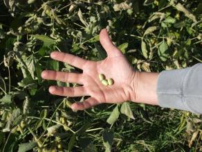 Enorme cosecha de soya en Sudamérica debilitará precios de harina
