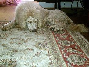 Perro es confundido con león y causa alarma en EEUU