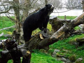 El oso de anteojos y su difícil lucha por sobrevivir