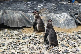 Pingüinos se reproducen en centro de rescate de Lambayeque