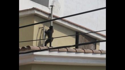Mono escapa y genera destrozos en San Miguel
