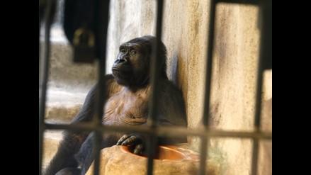 Simios son abandonados en zoológico de Tailanda