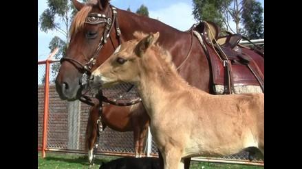 Aprueban sacrificio a 10.000 caballos salvajes en Australia