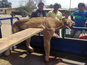 Lambayeque: Comuneros dan muerte a jaguar que mataba ganado cabrío