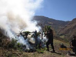 Ayacucho: Incineran 25 mil plantones de marihuana en distrito de Otoca
