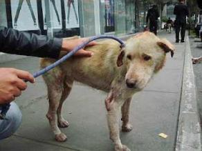 Urgente: perrito ´Camote´ rescatado con signos de maltrato necesita familia