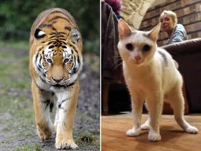 El tigre comparte un 95,6 % de su genoma con el gato, según estudio