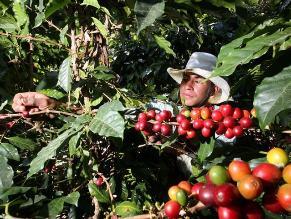 Catadores nacionales y extranjeros buscan el mejor café peruano