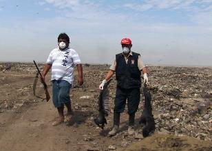 Seis meses demandó caza sanitaria de mil 253 gallinazos en Chiclayo
