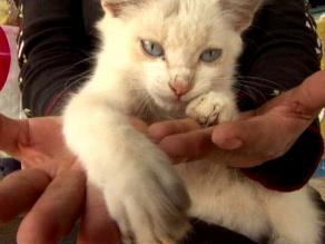 Suspenden carrera de gatos en Cañete ante lluvia de críticas al ´Curruñao´