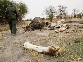 Zimbabue: cazadores furtivos matan elefantes con cianuro