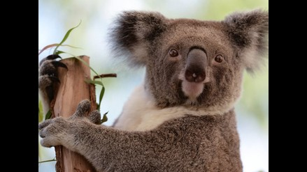 Koalas se bajan de los eucaliptos ante aumento del calor y las sequías