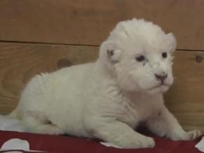 Cría de león blanco hace su aparición en un zoológico de Serbia