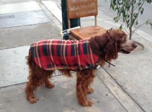 Perrito hallado amarrado en la calle busca casa