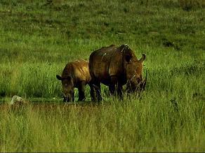 Kenia implantará microchips a rinocerontes para combatir caza furtiva
