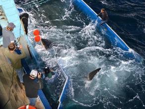 ONG demanda la veda de caza de tiburones por matanza ilegal de delfines