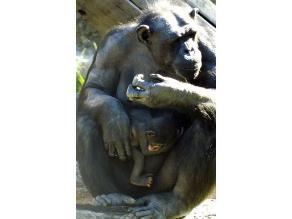 Zoológico de Sídney celebra nacimiento de chimpancé