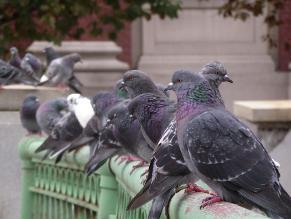 Cajamarca: excremento de palomas daña fachada de iglesias