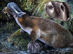 Hallan restos de ornitorrinco carnívoro extinto hace millones de años