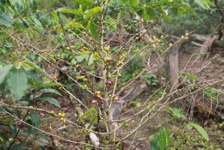 Disminuyó roya amarilla en cafetales de región Amazonas