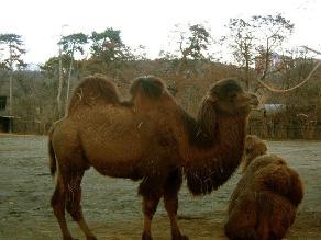 Camello saudí es el primer animal infectado por el coronavirus