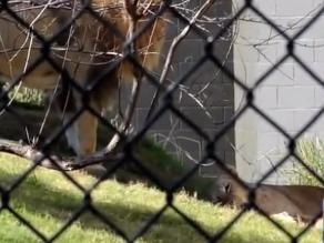 Horror en zoológico de Texas: León mata a leona frente a visitantes