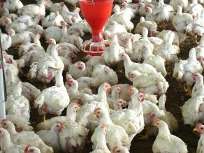 Precio del kilo de pollo de a pie cayó en S/. 0.40