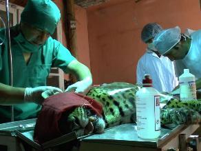 Huancayo: Otorongo es trasladado a nuevo ambiente tras cirugía