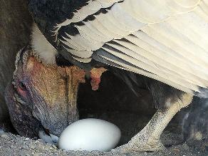 Gran expectativa por la incubación de un condor en cautiverio