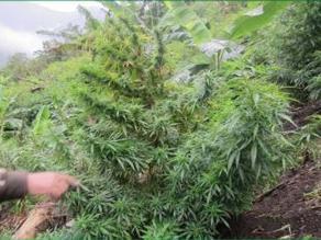 Huánuco: Policía destruye plantaciones de marihuana
