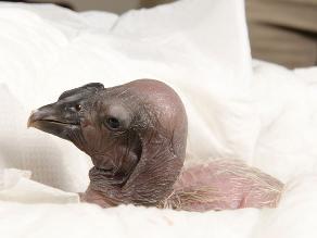 Nació Raiman Noé, el cóndor más mimado del Zoológico de Buenos Aires