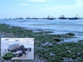 Piura: playas presentan superpoblación de algas marinas en Sechura