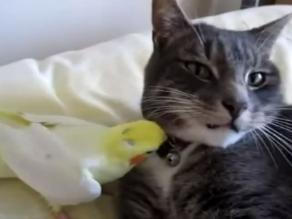 Aves que no dejan vivir tranquilos a los gatos