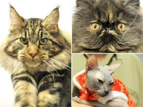 Exóticos felinos en el ´Show internacional de Gatos´ en Hungría