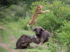 Búfalo ataca con furia a leon que atrapó a compañero de manada