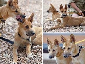 El Dingo: perro salvaje se enfrenta a la extinción en Australia
