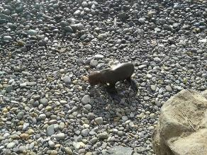 Grupo de ecologistas rescata a lobo marino varado en Barranquito