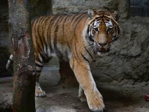 Tigre mata a un cuidador del parque zoológico chino de Shanghái