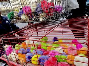 Trujillo: Venden pollitos pintados de colores