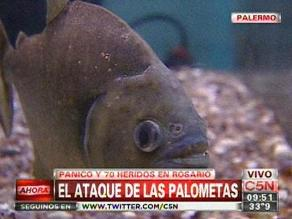 Argentina: expertos dicen que el clima hizo que las ´palometas´ ataquen