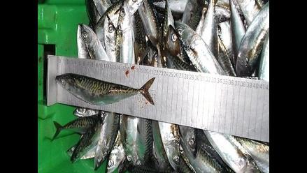 Produce establece límites de captura de jurel y caballa para el 2014