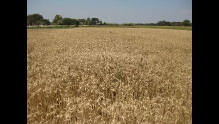 El trigo como cultivo alternativo al arroz en Lambayeque