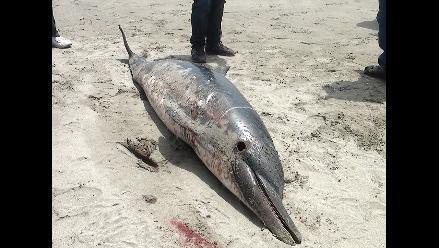 Lambayeque: Delfines murieron atrapados en redes de pescadores