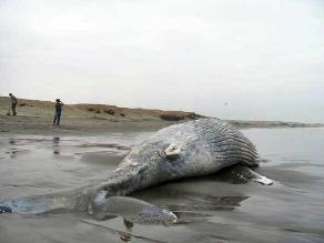 Mueren 39 ballenas tras quedarse varadas en playa de Nueva Zelanda