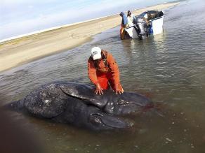 Hallan en México dos crías de ballena gris unidas por el vientre