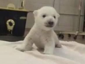 Los primeros pasos de un oso polar en cautiverio