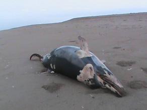 Piura: hallan una ballena, delfines y lobos marinos muertos en Sechura