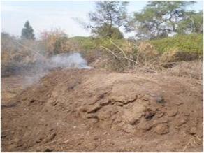 Lambayeque: comuneros de Mórrope denuncian tala ilegal de algarrobos
