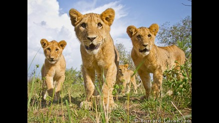Advierten peligro de extinción del león de África Occidental